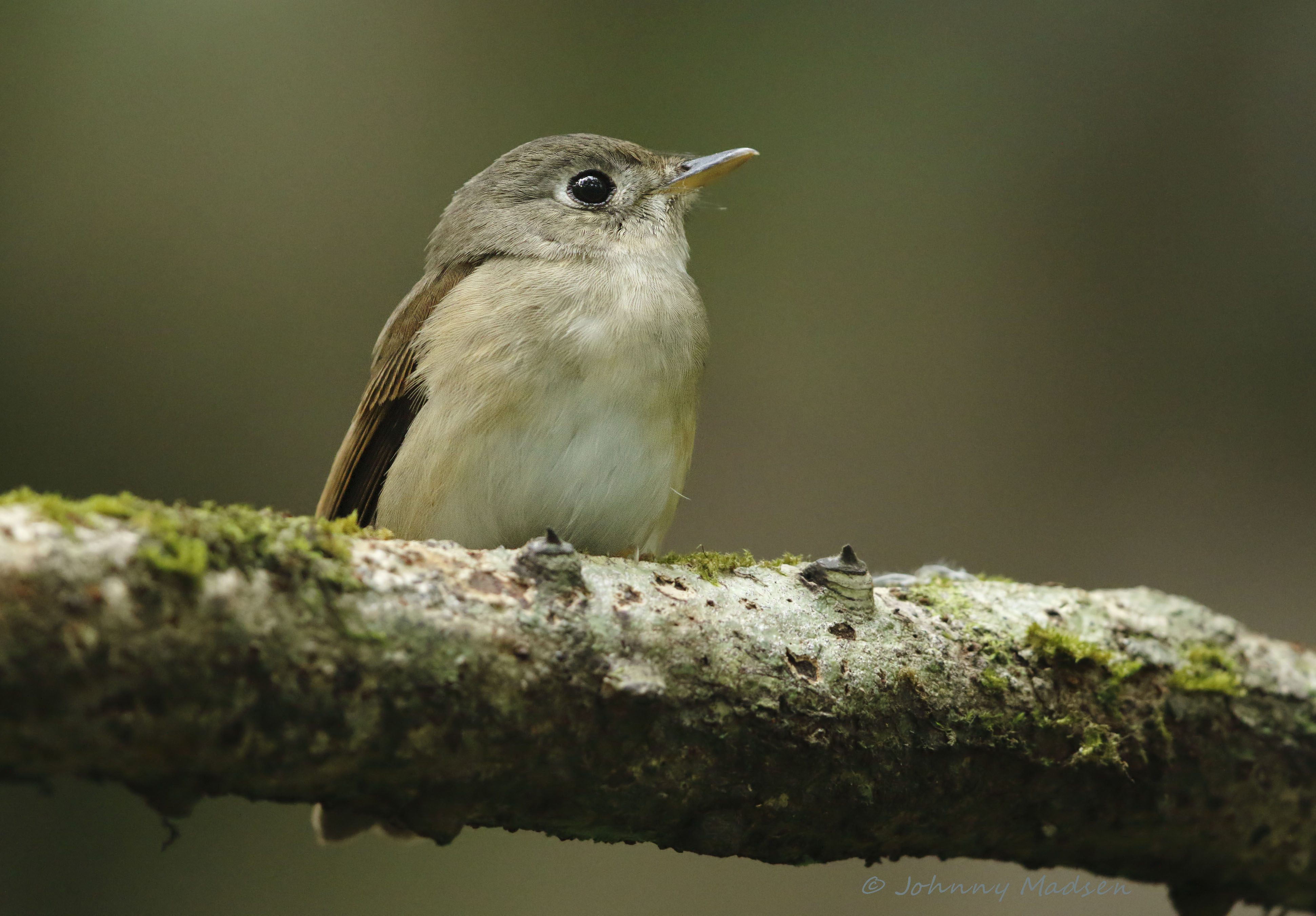 , , Asian Brown Flycatcher  (Muscicapa dauurica)