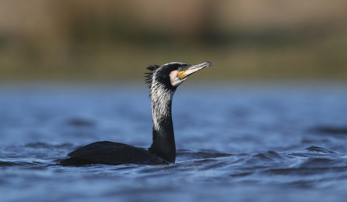 Skarv Phalacrocorax carbo