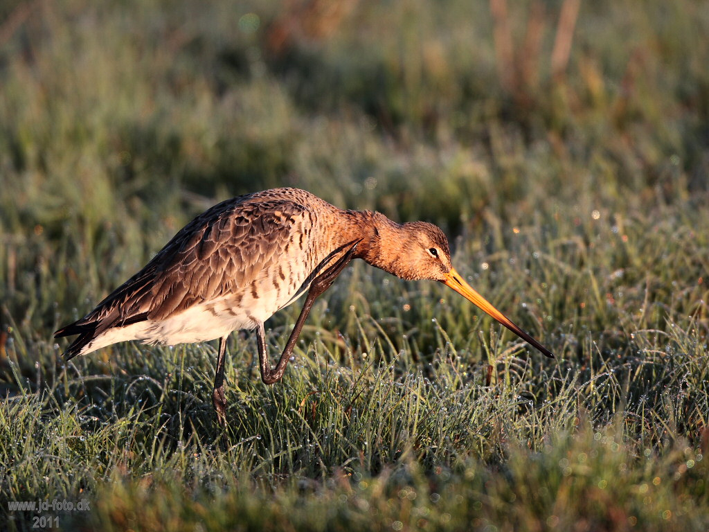 Stor Kobbersneppe Limosa limosa