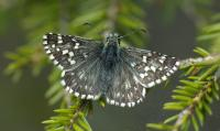 Northern Grizzled Skipper