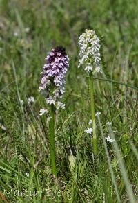 Military Orchid (Soldier Orchid)