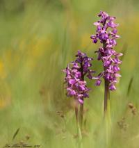 Green-winged Orchid / Green-veined Orchid