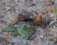 Black Banded Spider Wasp
