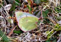 Pale Arctic Clouded Yellow