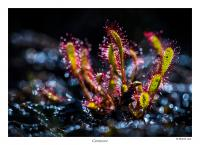 Great Sundew