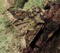 Green-brindled Crescent