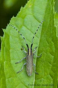 Golden-bloomed Grey Longhorn