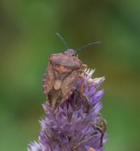 Carpocoris purpureipennis