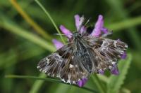Carcharodus flocciferus ( tufted marbled skipper)