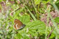 Scarce Heath